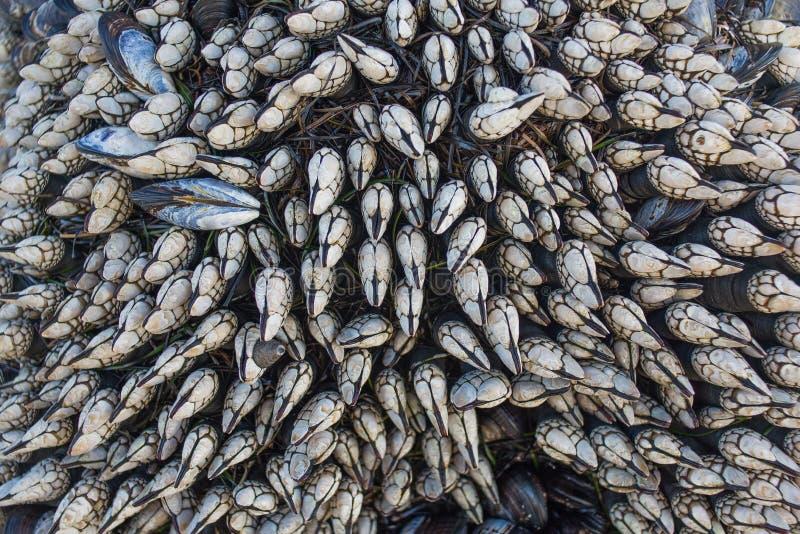 鹅颈管眼镜(Pollicipes polymerus) 免版税图库摄影