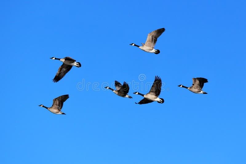 鹅飞行和蓝天 库存图片