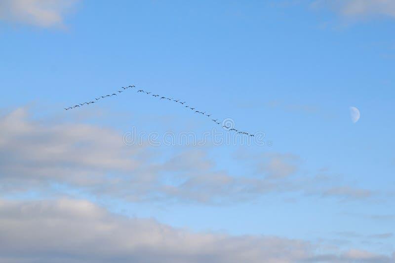 鹅飞行在瑞典的南部的 库存图片