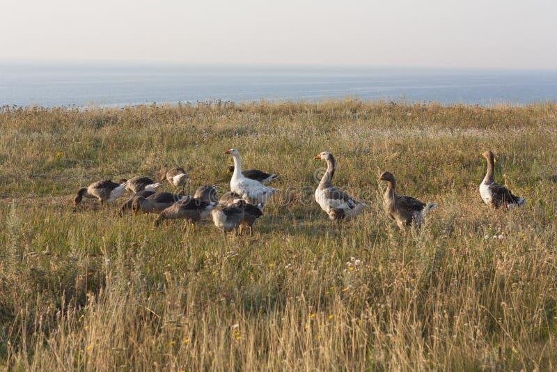 鹅鸭子横跨禽畜围场平安的初夏跑 与鹅照片的乡下场面 免版税图库摄影