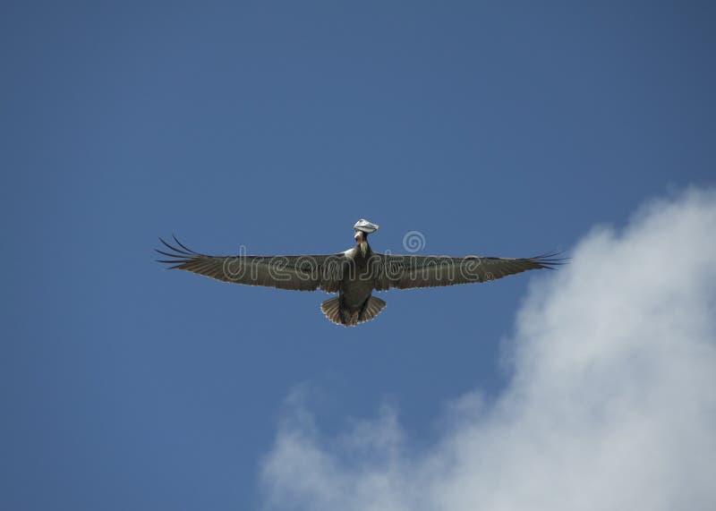 鹈鹕传播翼 免版税库存图片