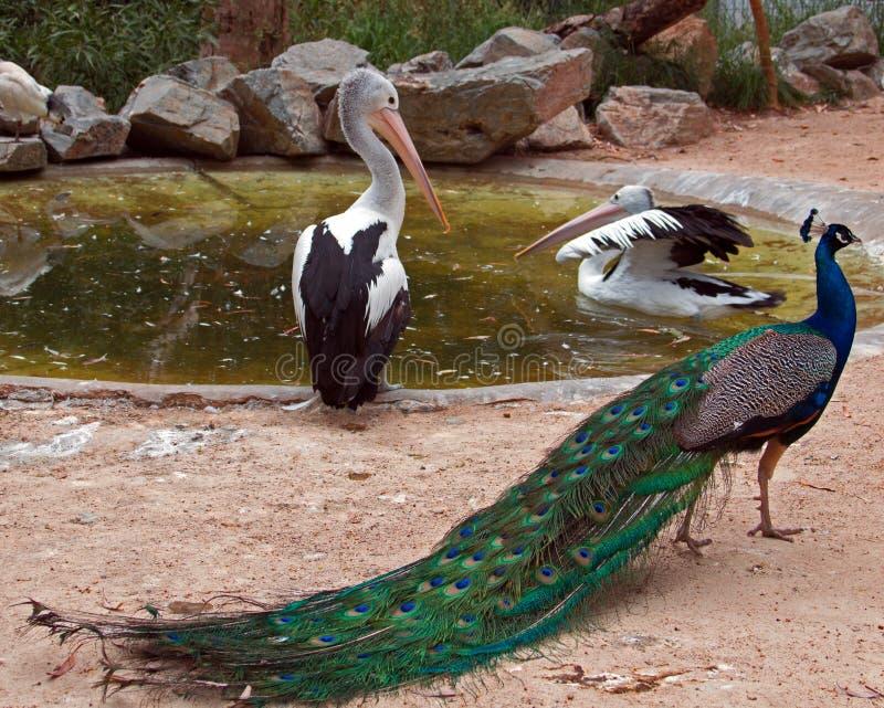 鹈鹕和孔雀在阿德莱德澳大利亚 免版税库存图片