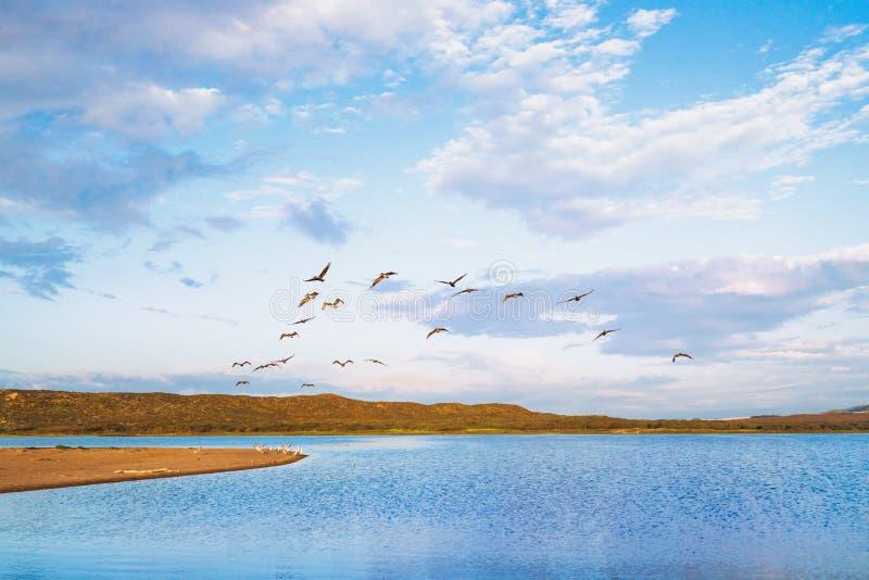 鹈鹕和美丽的多云天空群  库存照片
