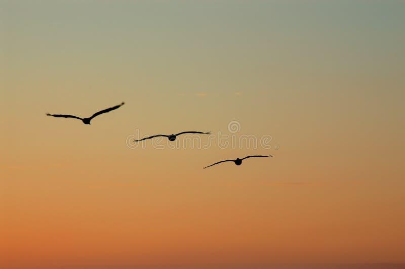 鹈鹕在形成飞行反对日落天空 免版税图库摄影