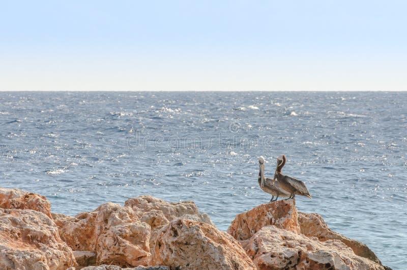 鹈鹕夫妇在一个岩石的在加勒比 库存图片