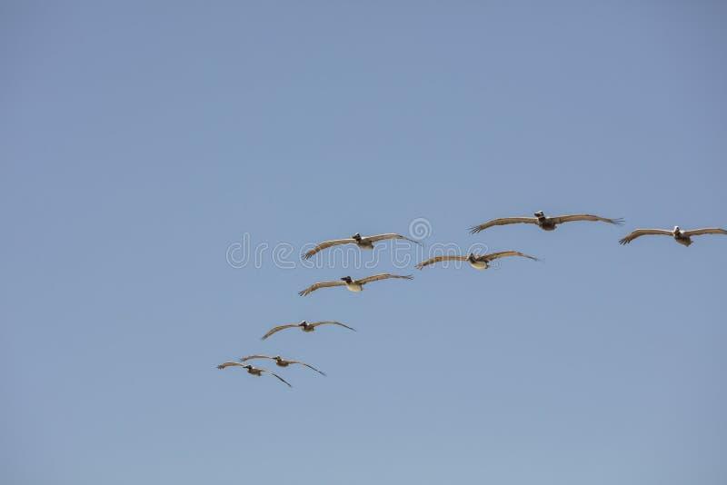 鹈鹕的形成在海岸的在天空蔚蓝下 库存照片