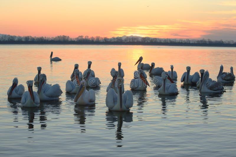 鹈鹕群在湖早晨 免版税图库摄影