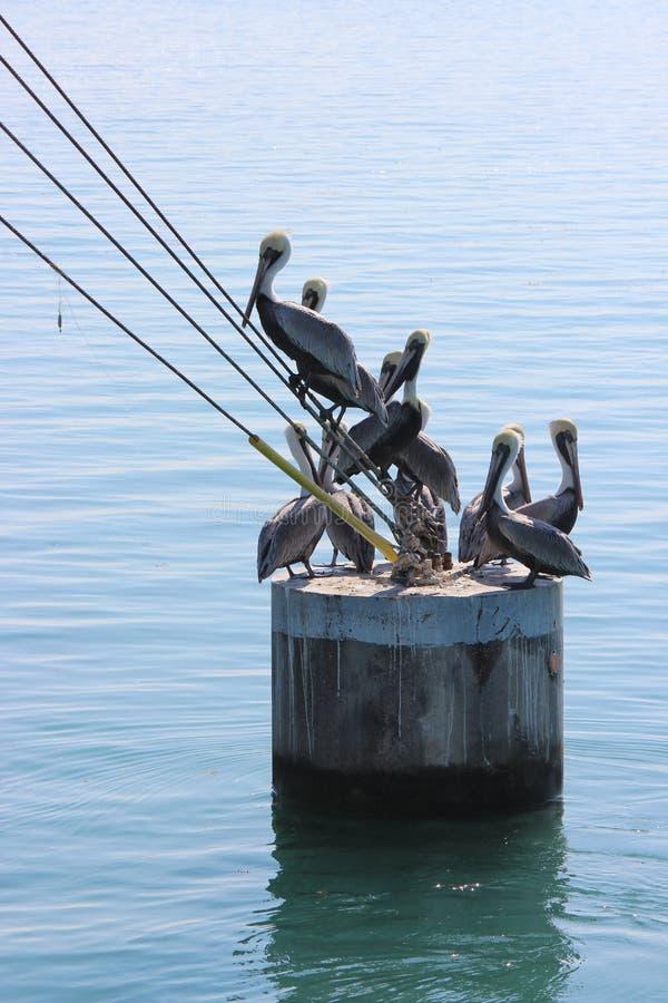 鹈鹕群 免版税库存照片
