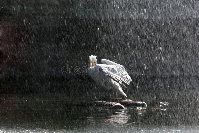 鹈鹕雨 库存图片
