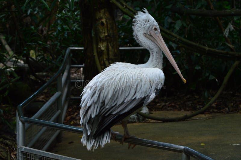 鹈鹕鸟在动物园里 库存照片