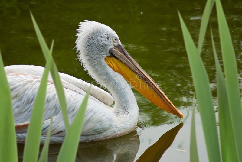 鹈鹕鸟在水中 免版税库存图片