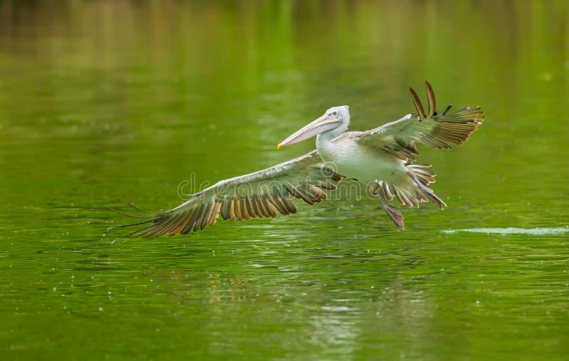 鹈鹕鸟飞行 免版税库存图片