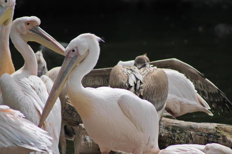 Download 鹈鹕 库存照片. 图片 包括有 waterbird, 海鸟, 码头, 栖息, 公开承认, 粉红色, 双翼飞机 - 22358914