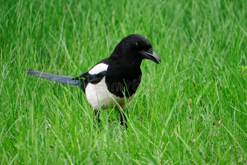 鹊张开了额嘴,走在新春天绿草 鸟类学 库存照片