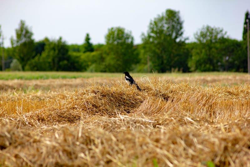 鹊是与昼夜生活习性的一只鸟,在繁殖的季节生活之外在对或在小基于家庭的小组o 免版税库存照片