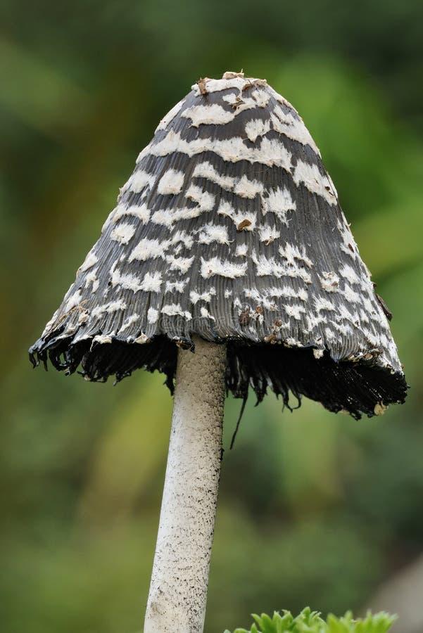 鹊盖帽真菌 库存图片