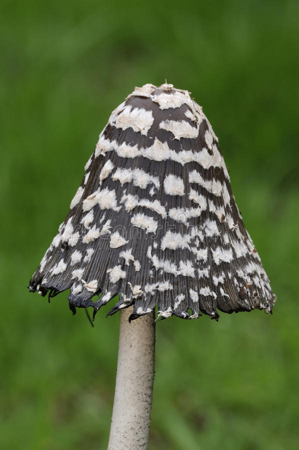 鹊盖帽真菌 库存照片