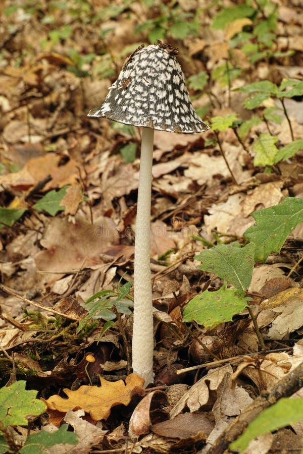 鹊真菌标本  库存图片