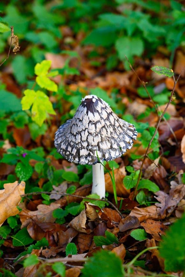 鹊真菌,Coprinopsis picacae,落叶松蕈picaceus,鬼伞属picaceus 免版税库存图片