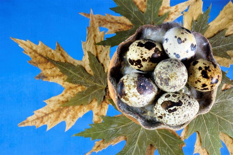 鹌鹑蛋—鹌鹑鸟,鹧鸡蛋  鹌鹑蛋有一种被察觉的颜色-褐斑病,壳是稀薄和易碎的 库存照片