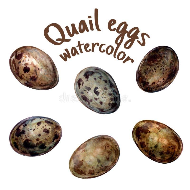 鹌鹑蛋的手拉的例证在样式水彩孤立的在白色 库存例证