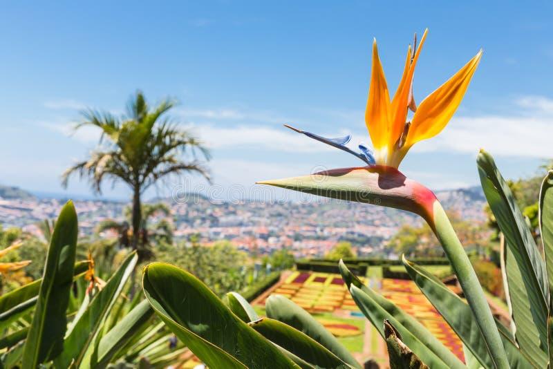 鹤望兰在马德拉岛海岛的植物园丰沙尔里 免版税库存照片