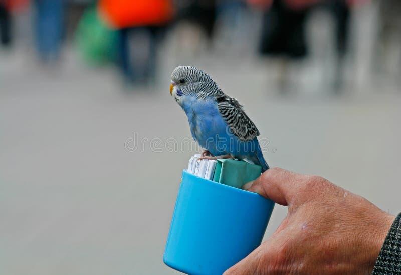 鹦哥占卜者坐有卡片的一个蓝色塑料杯子 免版税库存照片