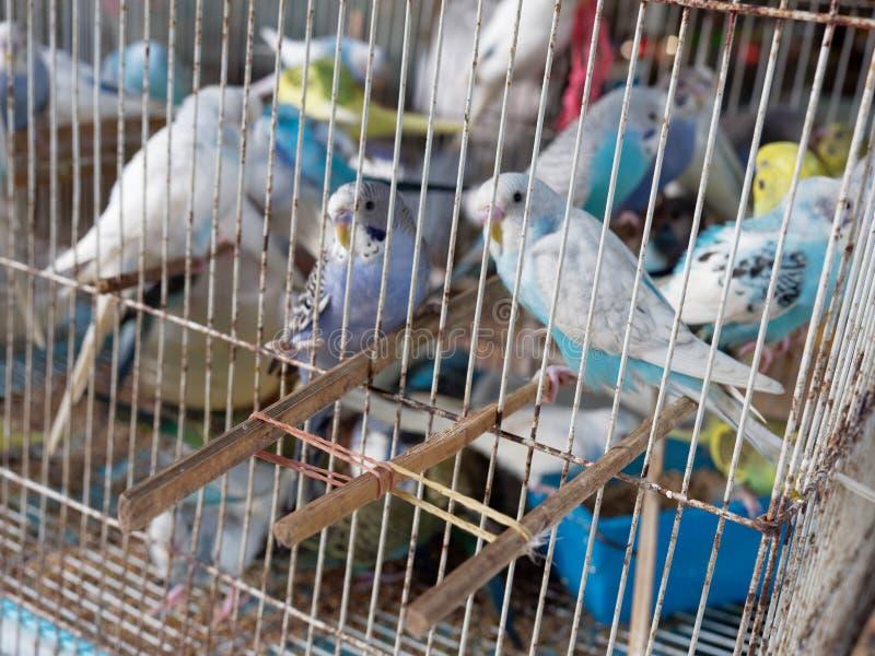 鹦哥或长尾小鹦鹉鸟笼待售在市场上 免版税库存图片