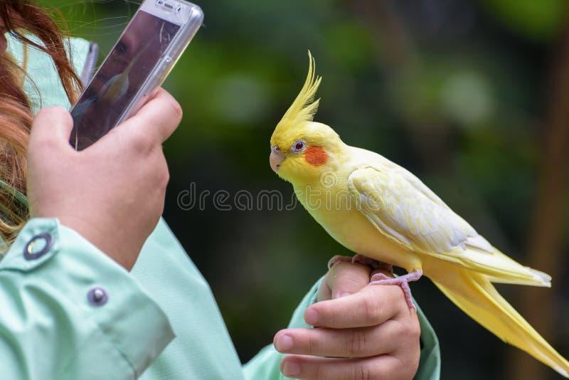 三级人与兽黄色_鹦哥是一只长尾的鹦鹉,与黄色羽毛坐女孩的手 女孩由电话拍鹦鹉照片