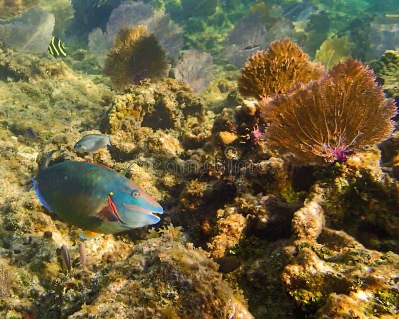 鹦嘴鱼的图象在礁石的在Roatan洪都拉斯 库存图片