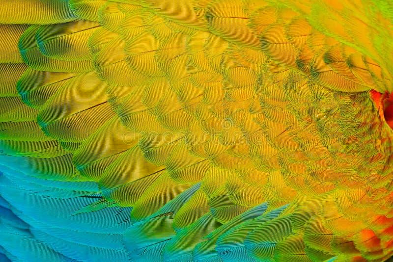 鹦鹉全身羽毛特写镜头细节  猩红色金刚鹦鹉, Ara澳门,翼,自然哥斯达黎加细节  免版税库存照片
