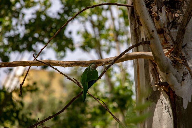 鹦鹉努力修造他们的在树枝的巢下鸡蛋 免版税库存图片