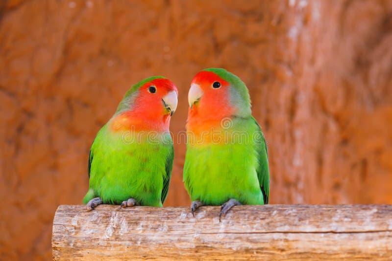 鹦鹉在分支结合 免版税库存照片