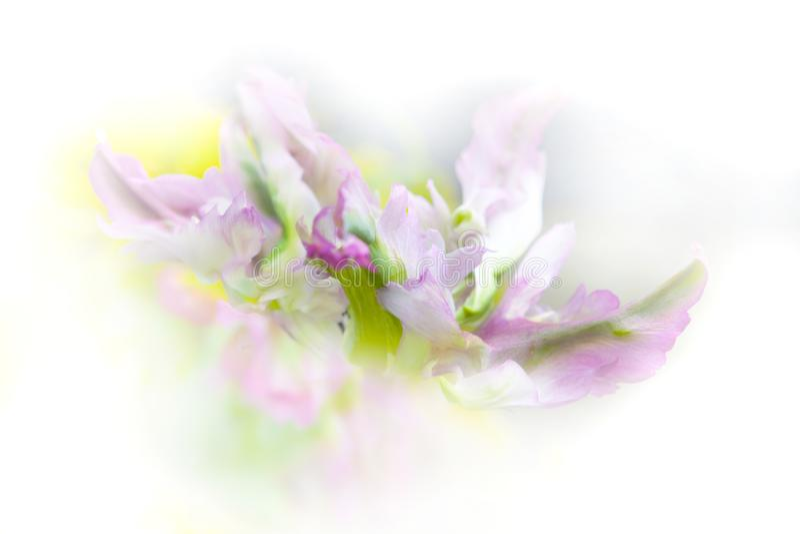 鹦鹉在白色背景、软的桃红色和绿色口气弄脏的郁金香宏指令 免版税库存照片