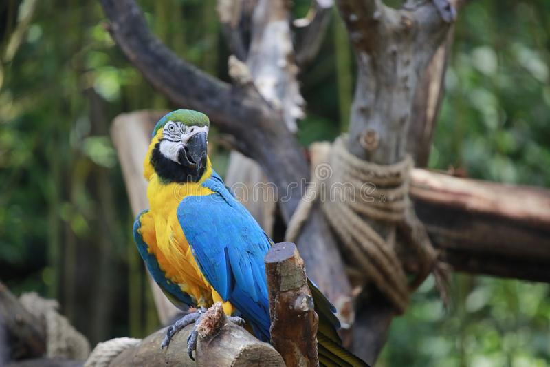 鹦鹉是充满许多羽毛和美好的爱的一只鸟 典型的上升的鸟、脚趾型脚、两个脚趾今后和两个脚趾b 库存照片
