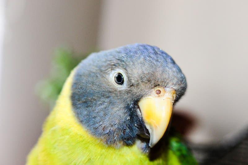 鹦鹉李子带头的femle 图库摄影
