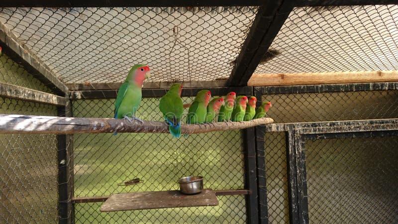 鹦鹉爱鸟,异国情调的家宠 免版税图库摄影