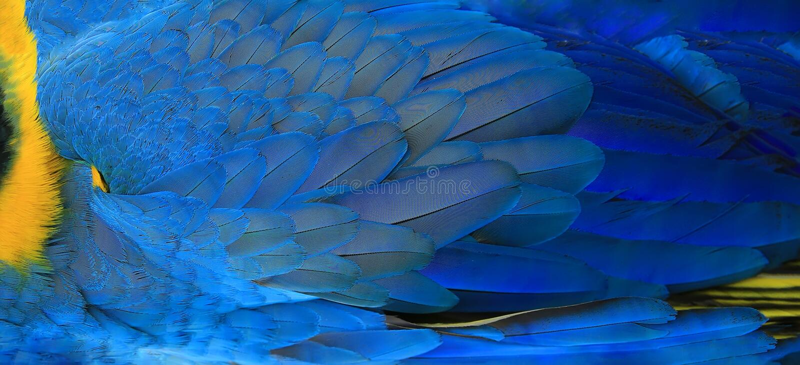 鹦鹉用羽毛装饰黄色和蓝色 图库摄影