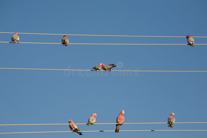 鹦鹉电汇 免版税图库摄影