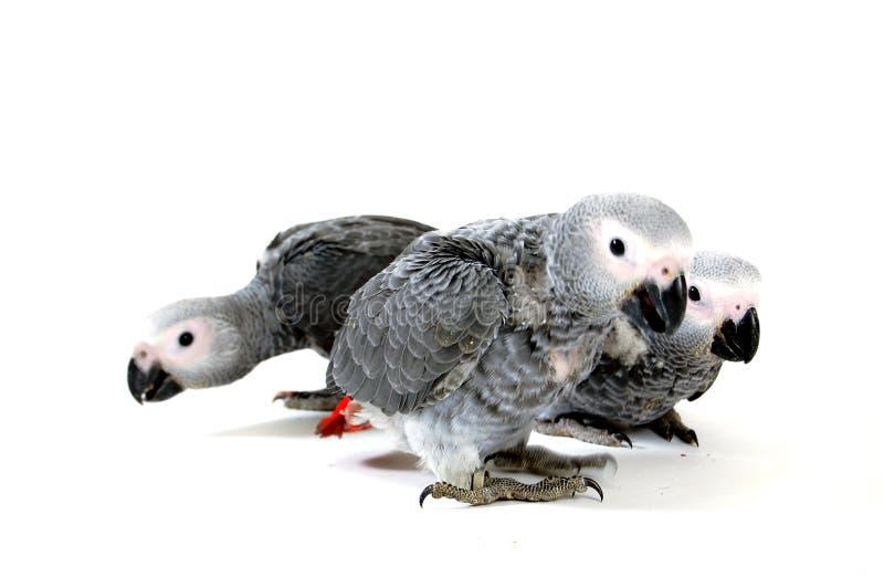鹦鹉红色传说白色 免版税库存照片