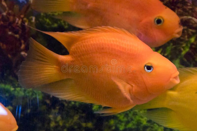 鹦鹉鱼 免版税库存图片