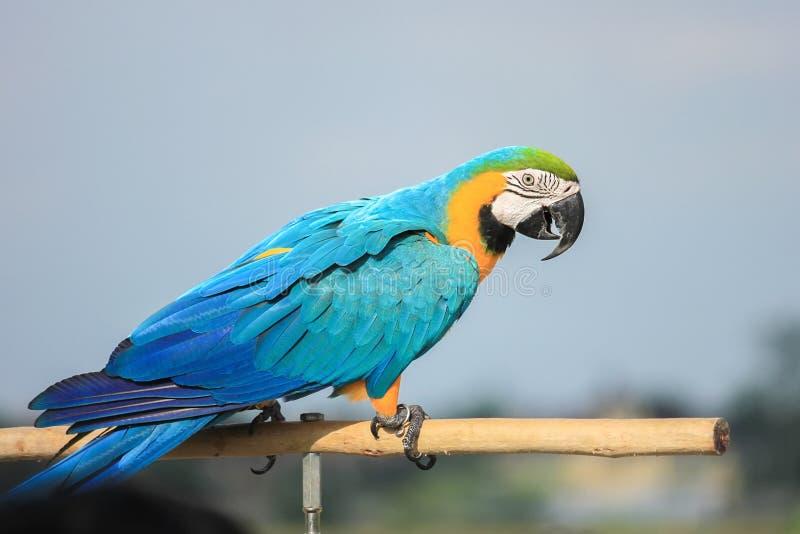 鹦鹉,金刚鹦鹉分支立场 免版税库存照片