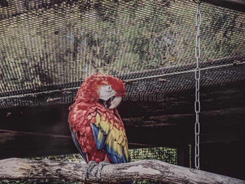 鹦鹉Ara澳门 库存照片