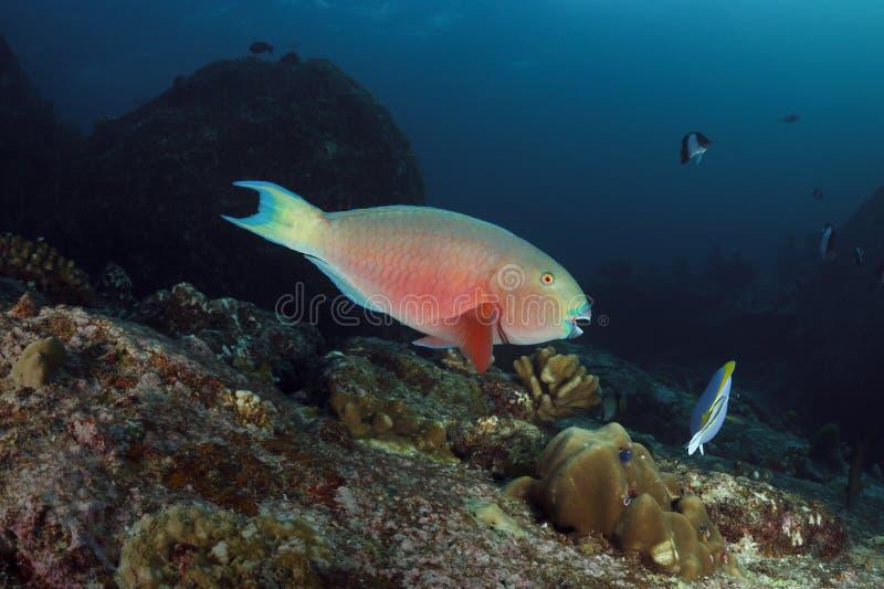 鹦嘴鱼水下在安达曼海,泰国 图库摄影