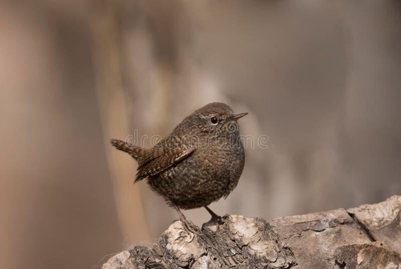 鹪鹩鸟以昆虫为食的鸟狂放的鸟类迁徙生态摄影尾巴经常向了上与白色斑点d的身体 库存照片