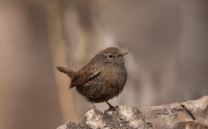 鹪鹩鸟美丽的以昆虫为食的迁移褐色歌手栖息狂放的河沿羽毛似眼睛  库存照片