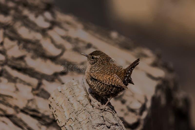 鹪鹩鸟美丽的以昆虫为食的迁移褐色歌手栖息羽毛似狂放的河沿 免版税库存图片