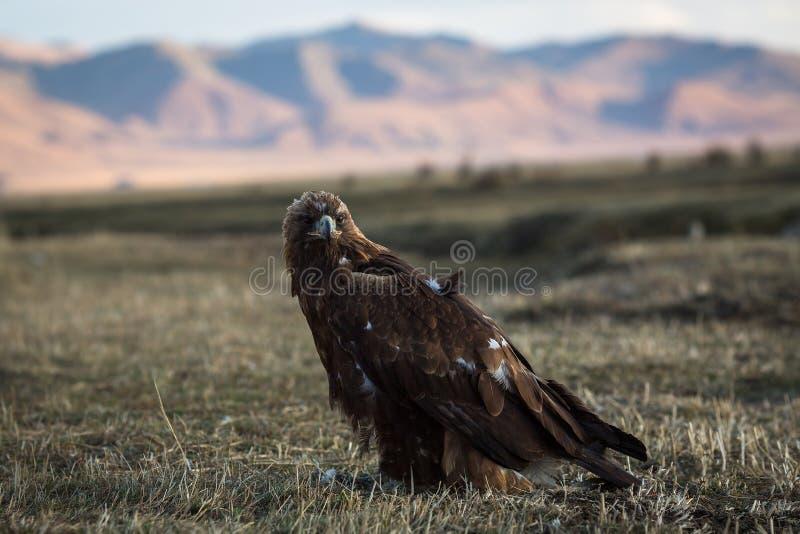 鹫在干草原坐蒙古山的背景 自然 图库摄影