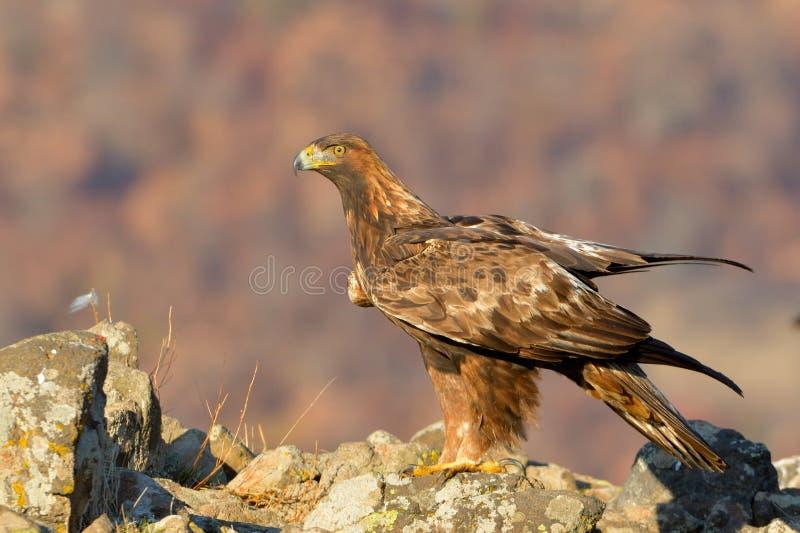 鹫坐岩石 图库摄影
