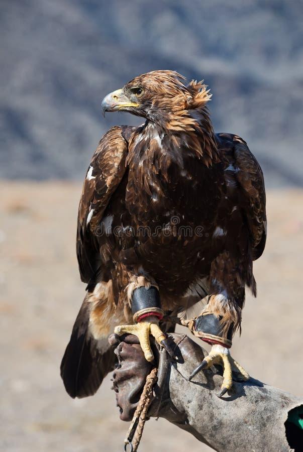 鹫猎鹰训练术 免版税库存照片